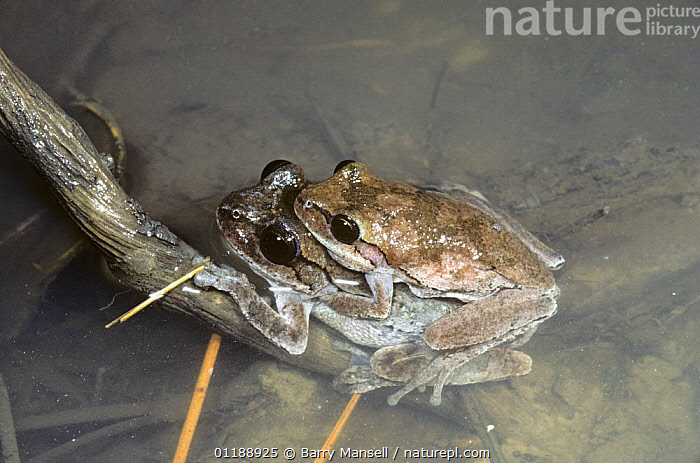 Pinewoods tree frogs {Hyla femoralis} mating, USA  ,  AMPHIBIANS,AMPLEXUS,ANURA,FRESHWATER,FROGS,MALE FEMALE PAIR,MATING BEHAVIOUR,TREE FROGS,USA,VERTEBRATES,North America,Reproduction  ,  Barry Mansell