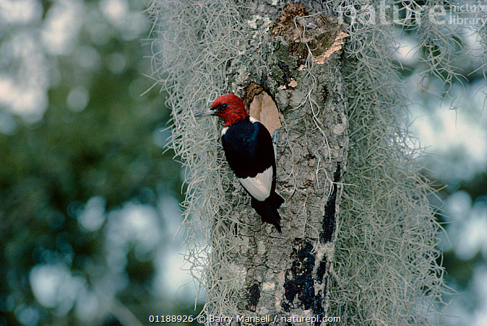 Red headed woodpecker {Melanerpes erythrocephalus} at nest hole amongst lichen, USA  ,  BIRDS,LICHENS,NESTS,Picidae,TRUNKS,USA,VERTEBRATES,VERTICAL,WOODPECKERS,Plants,North America  ,  Barry Mansell