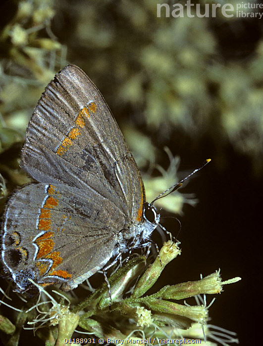 Red banded hairstreak butterfly {Calycopis cecrops} feeding from flower, Florida, USA  ,  BUTTERFLIES,FEEDING,FLOWERS,INSECTS,INVERTEBRATES,LEPIDOPTERA,PORTRAITS,PROBOSCIS,PROFILE,USA,VERTICAL,North America  ,  Barry Mansell