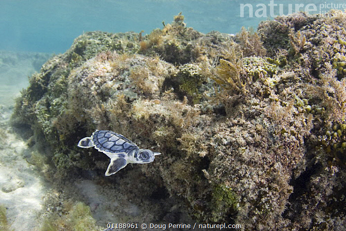 Australian flatback sea turtle (Natator depressus) hatchling swimming past coral reef out to sea from nesting beach, Torres Strait, Queensland, Australia, captive release programme  ,  AUSTRALIA,BABIES,BABY,CORAL REEFS,ENDANGERED,ENDEMIC,INDO PACIFIC,LANDSCAPES,MARINE,PACIFIC,REPTILES,SEA TURTLES,SWIMMING,TROPICAL,UNDERWATER,VERTEBRATES,Chelonia, Turtles  ,  Doug Perrine
