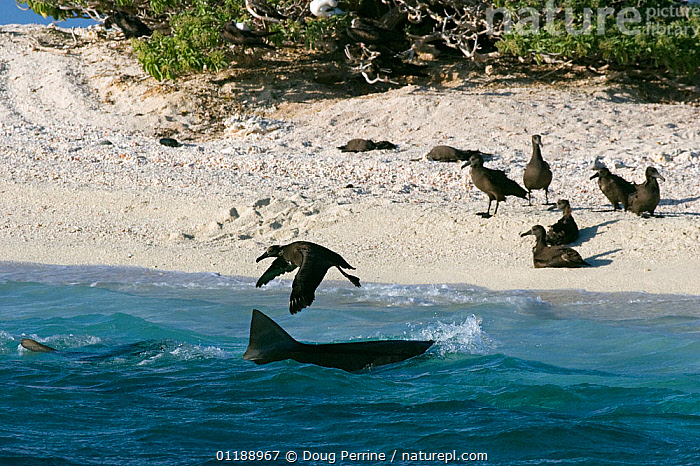 Tiger shark (Galeocerdo cuvier) makes unsuccessful lunge at fledgling Black-footed albatross chick (Phoebastria nigripes) at beach where the chicks gather to prepare to take their first flight, East Island, French Frigate Shoals, Papahanaumokuakea National Monument, 
