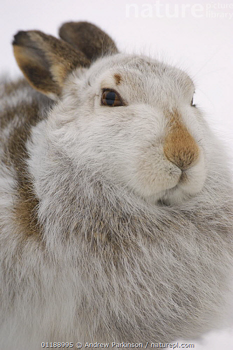 Mountain hare {Lepus timidus} adult on snow in winter coat. Monadhliath Mountains, Scotland, UK  ,  CAMOUFLAGE,EUROPE,HARES,HIGHLANDS,LAGOMORPHS,MAMMALS,MOORLAND,PORTRAITS,SCOTLAND,UK,VERTEBRATES,VERTICAL,United Kingdom,British  ,  Andrew Parkinson
