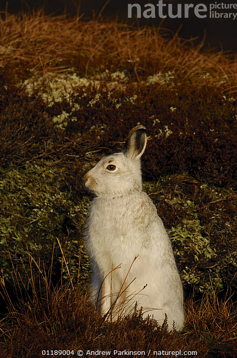 Mountain hare {Lepus timidus} adult on moorland, conspicuous in winter coat, Monadhliath Mountains, Scotland, UK  ,  EUROPE,HARES,HIGHLANDS,LAGOMORPHS,MAMMALS,MOORLAND,SCOTLAND,UK,VERTEBRATES,VERTICAL,United Kingdom,British  ,  Andrew Parkinson