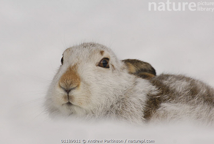 Mountain hare {Lepus timidus} adult in snow, coat changing from summer brown to winter white, Monadhliath Mountains, Scotland, UK  ,  CAMOUFLAGE,EUROPE,HARES,HIGHLANDS,LAGOMORPHS,MAMMALS,MOORLAND,SCOTLAND,UK,VERTEBRATES,United Kingdom,British  ,  Andrew Parkinson