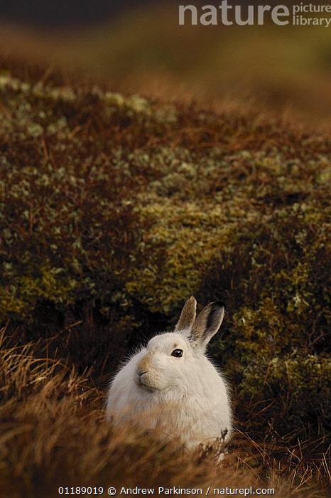 Mountain hare {Lepus timidus} adult on moorland, conspicuous in white winter coat, Monadhliath Mountains, Scotland, UK  ,  EUROPE,HARES,HIGHLANDS,LAGOMORPHS,MAMMALS,MOORLAND,SCOTLAND,UK,VERTEBRATES,VERTICAL,United Kingdom,British  ,  Andrew Parkinson