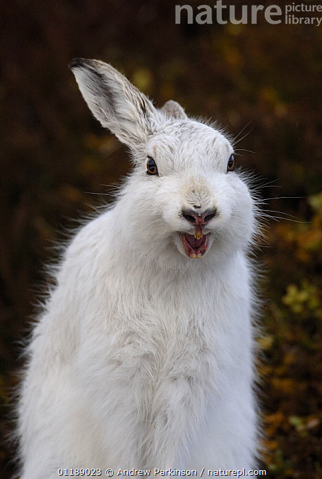 Mountain hare {Lepus timidus} adult stretching and yawning on moorland, conspicuous in white winter coat, Monadhliath Mountains, Scotland, UK  ,  EUROPE,HARES,HIGHLANDS,HUMOROUS,LAGOMORPHS,MAMMALS,MOORLAND,MOUTHS,PORTRAITS,SCOTLAND,UK,VERTEBRATES,VERTICAL,United Kingdom,Concepts,British  ,  Andrew Parkinson