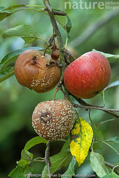 Brown Rot Fungus {Monolinia fruitigena} on Cox Apple {Malus domestica} UK  ,  apples, DICOTYLEDONS, disease, EUROPE, FRUIT, fungal, FUNGI, ROSACEAE, UK, VERTICAL,Plants,United Kingdom  ,  Adrian Davies