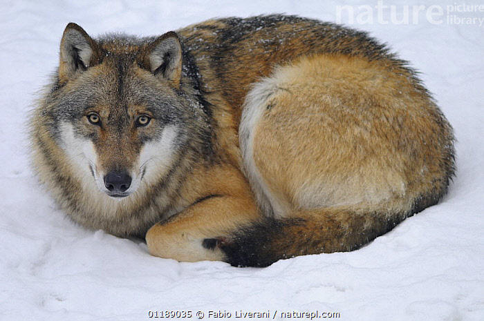 European Grey wolf {Canis lupus} resting in snow,  Bayerischer Wald NP, Germany, captive  ,  CARNIVORES,EUROPE,MAMMALS,PORTRAITS,RESERVE,SNOW,VERTEBRATES,WOLVES,Dogs,Canids  ,  Fabio Liverani