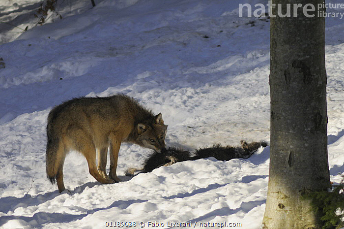 European Grey wolf {Canis lupus} with prey,  Bayerischer Wald NP, Germany, captive  ,  BEHAVIOUR,CARNIVORES,EUROPE,FEEDING,FORESTS,MAMMALS,RESERVE,SNOW,VERTEBRATES,WOLVES,Dogs,Canids  ,  Fabio Liverani