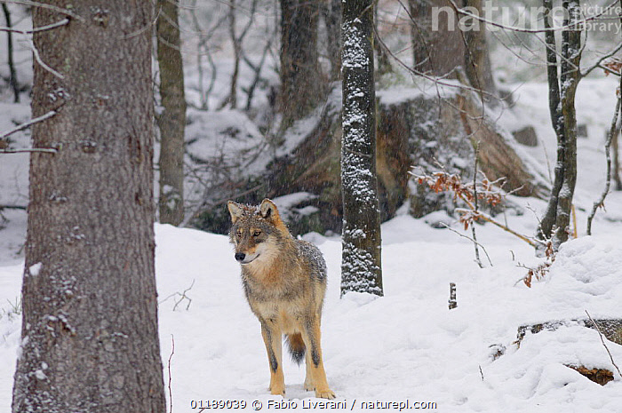 European Grey wolf {Canis lupus} in woodland in snow,  Bayerischer Wald NP, Germany, captive  ,  CARNIVORES,EUROPE,MAMMALS,PORTRAITS,RESERVE,SNOW,VERTEBRATES,WOLVES,WOODLANDS,Dogs,Canids  ,  Fabio Liverani