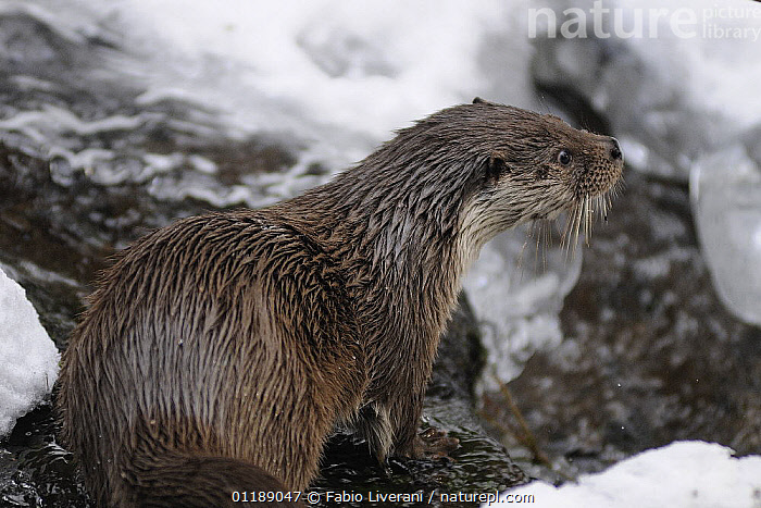 European river otter {Lutra lutra} captive, Bayerischer Wald NP, Germany  ,  CARNIVORES,EUROPE,ICE,MAMMALS,OTTERS,PORTRAITS,RESERVE,SNOW,VERTEBRATES,Mustelids  ,  Fabio Liverani