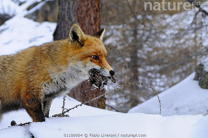 Red fox {Vulpes vulpes} carrying bird prey in mouth, Gran Paradiso NP, Val d'Aosta, Italy  ,  BIRDS,CARNIVORES,FOXES,ITALY,MAMMALS,RESERVE,SNOW,VERTEBRATES,WINTER,WOODLANDS,Europe,Dogs,Canids  ,  Fabio Liverani