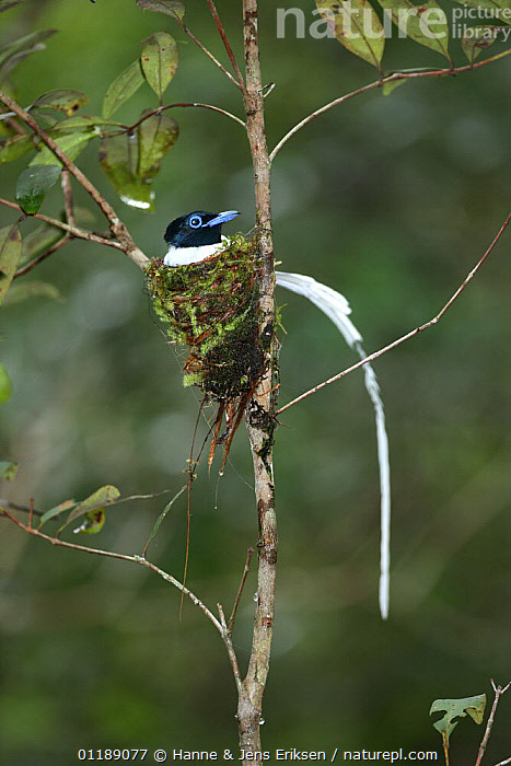 Asiatic paradise flycatcher {Terpsiphone paradisi} male on nest, Tanjung Puting NP, Kalimantan, Borneo, Indonesia.  ,  ASIA,BORNEO,FLYCATCHERS,MALES,NESTS,RESERVE,TROPICAL RAINFOREST,VERTEBRATES  ,  Hanne & Jens Eriksen