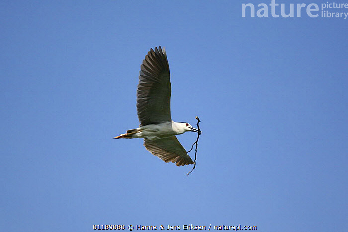 Black crowned night heron {Nycticorax nycticorax} adult in flight carrying nest material, Java, Indonesia.  ,  ASIA,BIRDS,FLYING,HERONS,NESTING BEHAVIOUR,VERTEBRATES,Reproduction  ,  Hanne & Jens Eriksen