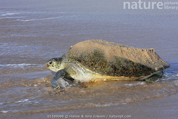 Green turtle {Chelonia mydas} female returning to the sea with shell still covered in sand from digging nest, Ras Al Jinz, Oman.  ,  ARABIA,BEHAVIOUR,CHELONIA,COASTS,ENDANGERED,FEMALES,REPTILES,SEA TURTLES,SEA TURTLES,TURTLES,VERTEBRATES, Turtles  ,  Hanne & Jens Eriksen