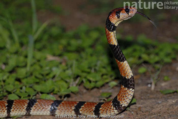 Coral Snake (Aspidelaps lubricus) strike pose with tongue flickering, Little Karoo, South Africa  ,  BEHAVIOUR,COBRAS,NIGHT,NOCTURNAL,PORTRAITS,PROFILE,REPTILES,SNAKES,SOUTHERN AFRICA,STRIPED,STRIPES,VERTEBRATES  ,  Tony Phelps