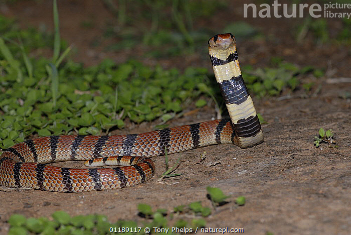 Coral Snake (Aspidelaps lubricus) strike pose, Little Karoo, South Africa  ,  BEHAVIOUR,COBRAS,NIGHT,NOCTURNAL,REPTILES,SNAKES,SOUTHERN AFRICA,VERTEBRATES  ,  Tony Phelps