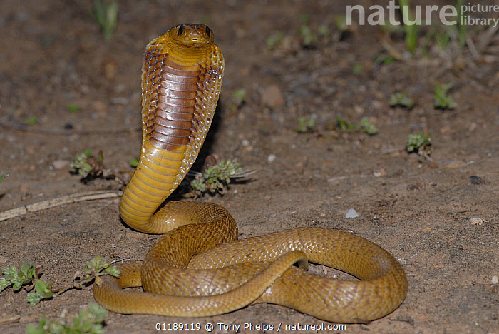 Cape Cobra (Naja nivea) juvenile defensive hooding, Little Karoo, South Africa  ,  BEHAVIOUR,COBRAS,REPTILES,SNAKES,SOUTHERN AFRICA,VERTEBRATES, Cobras  ,  Tony Phelps