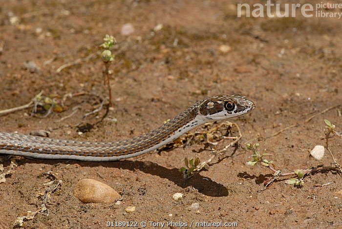 Karoo Whip Snake (Psammophis notostictus) moving across the ground with head raised, Little Karoo, South Africa  ,  COLUBRIDS,MOVEMENT,REPTILES,SNAKES,SOUTHERN AFRICA,VERTEBRATES,WHIP SNAKES,WHIPSNAKE,WHIPSNAKES  ,  Tony Phelps