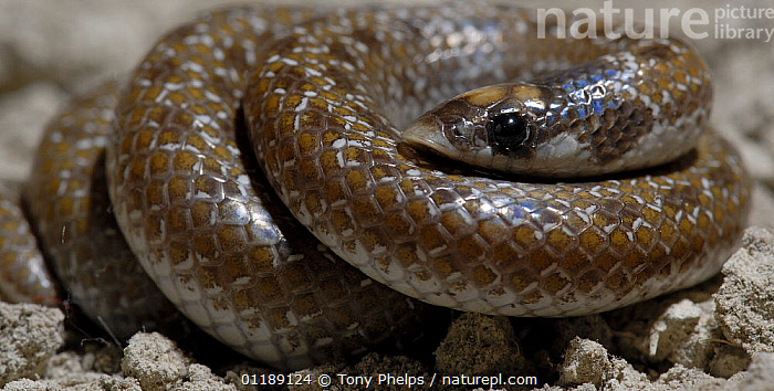 Sundevall's shovel-snout Snake (Prosyma sundevalli) tightly coiled, Western Cape, South Africa.  ,  COILS,COLUBRIDS,REPTILES,SNAKES,SOUTHERN AFRICA,VERTEBRATES  ,  Tony Phelps