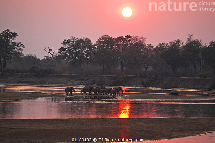 African elephant {Loxodonta africana} family group crossing riverbed at sunset, South Luangwa NP, Zambia  ,  ELEPHANTS,ENDANGERED,GROUPS,LANDSCAPES,MAMMALS,PROBOSCIDS,REFLECTIONS,RESERVE,RIVERS,SOUTHERN AFRICA,VERTEBRATES,WATER  ,  TJ Rich