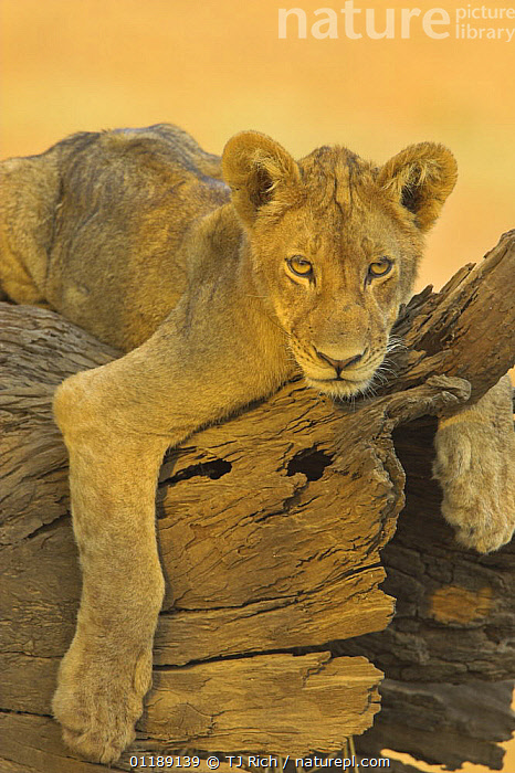 African lion {Panthera leo} adolescent male resting on dead tree, South Luangwa NP, Zambia  ,  BIG CATS,CARNIVORES,JUVENILE,LIONS,MALES,MAMMALS,RESERVE,SOUTHERN AFRICA,VERTEBRATES,VERTICAL  ,  TJ Rich