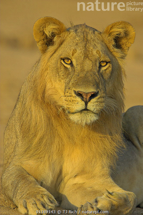African lion {Panthera leo} male, South Luangwa NP, Zambia  ,  BIG CATS,CARNIVORES,LIONS,MALES,MAMMALS,PORTRAITS,RESERVE,SOUTHERN AFRICA,VERTEBRATES,VERTICAL  ,  TJ Rich