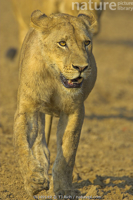 African lion {Panthera leo} lioness on the move in dried river bed, South Luangwa NP, Zambia  ,  BIG CATS,CARNIVORES,FEMALES,LIONS,MAMMALS,RESERVE,SOUTHERN AFRICA,VERTEBRATES,VERTICAL  ,  TJ Rich