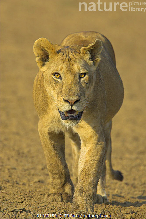 African lion {Panthera leo} juvenile on the move in dried river bed, South Luangwa NP, Zambia  ,  BIG CATS,CARNIVORES,EYES,LIONS,MAMMALS,PORTRAITS,RESERVE,SOUTHERN AFRICA,VERTEBRATES,VERTICAL  ,  TJ Rich