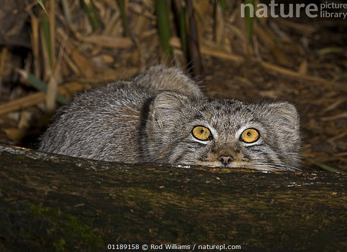 Young Pallas's Cat (Felis / Otocolobus manul) looking up, captive from Iran to Western China  ,  ASIA,CARNIVORES,CATS,EYES,MAMMALS,VERTEBRATES  ,  Rod Williams