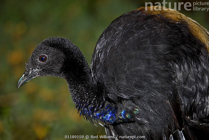Grey-winged Trumpeter (Psophia crepitans crepitans) captive, from South America  ,  BIRDS,SOUTH AMERICA,TRUMPETERS,VERTEBRATES  ,  Rod Williams