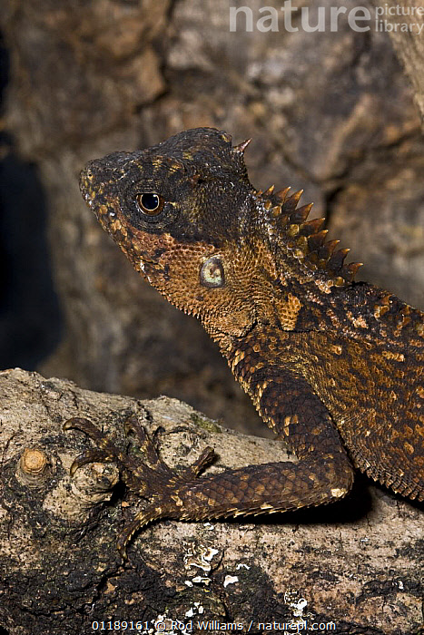 Female Mountain Horned Dragon (Acanthosaura crucigera) captive, from South East Asia  ,  AGAMAS,ASIA,DRAGON LIZARD,FEMALES,LIZARDS,REPTILES,VERTEBRATES,VERTICAL  ,  Rod Williams