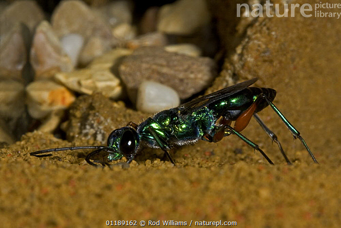 Jewel Wasp (Ampulex compressa) captive from India and South East Asia  ,  ASIA,HUNTING WASPS,HYMENOPTERA,INSECTS,INVERTEBRATES,IRRIDESCENT,WASPS,Blattodea  ,  Rod Williams