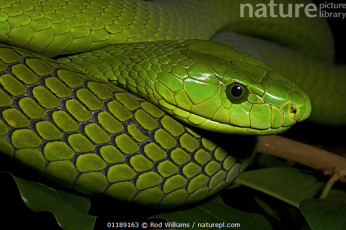 Eastern Green Mamba (Dendroaspis angusticeps) captive, from Sub-Saharan Africa  ,  AFRICA,GREEN,MAMBAS,PORTRAITS,REPTILES,SCALES,SNAKES,VERTEBRATES  ,  Rod Williams
