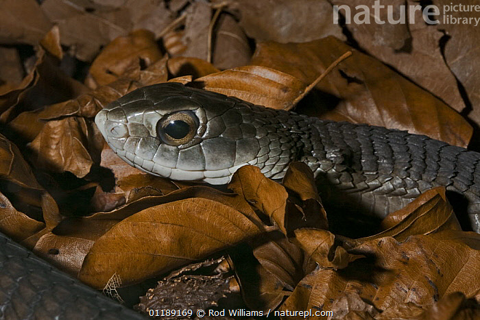 Boomslang (Dispholidus typus) captive, from South Africa  ,  AFRICA,COLUBRIDS,PORTRAITS,REPTILES,SNAKES,VERTEBRATES  ,  Rod Williams