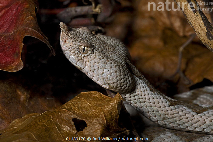 Sand / Long-nosed Viper (Vipera ammodytes) captive, from South East Europe and Turkey  ,  EUROPE,PORTRAITS,REPTILES,SNAKES,VERTEBRATES,VIPERS, Vipers  ,  Rod Williams