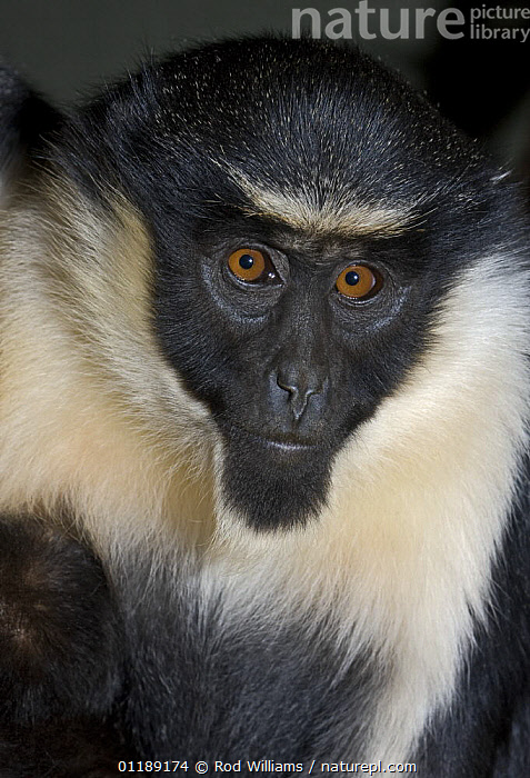 Juvenile Diana Monkey (Cercopithecus diana) captive, from Sierra Leone to Ghana, Vulnerable  ,  BLACK AND WHITE,ENDANGERED,GUENONS,MAMMALS,MONKEYS,PORTRAITS,PRIMATES,VERTICAL,WEST AFRICA,Africa  ,  Rod Williams