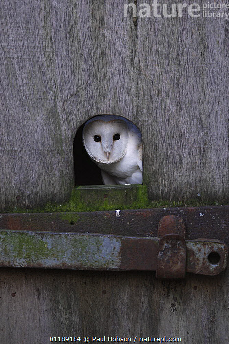 Barn Owl {Tyto alba} looking out of hole in barn door, Norfolk, UK, captive  ,  BIRDS,BUILDINGS,EUROPE,OWLS,UK,VERTEBRATES,VERTICAL,United Kingdom,British,Raptor  ,  Paul Hobson