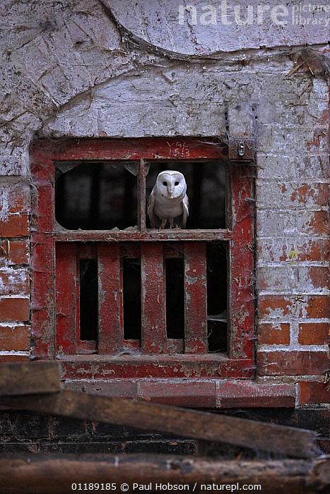 Barn Owl {Tyto alba} perched in old farm window, Norfolk, UK, captive  ,  BIRDS,BUILDINGS,EUROPE,OWLS,UK,VERTEBRATES,VERTICAL,United Kingdom,British,Raptor  ,  Paul Hobson