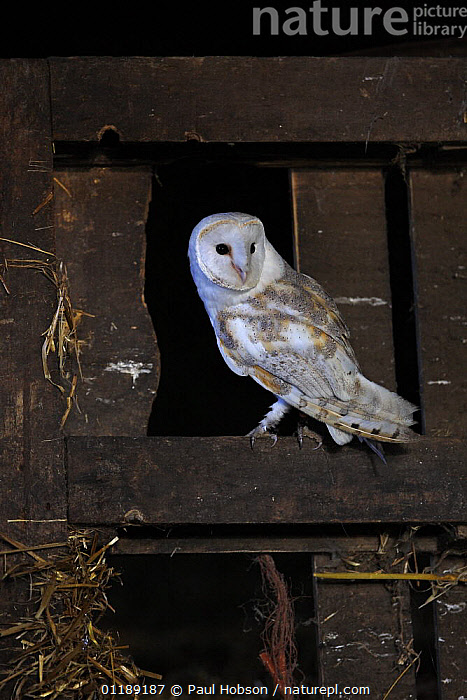 Nature Picture Library Barn Owl Perched In Old