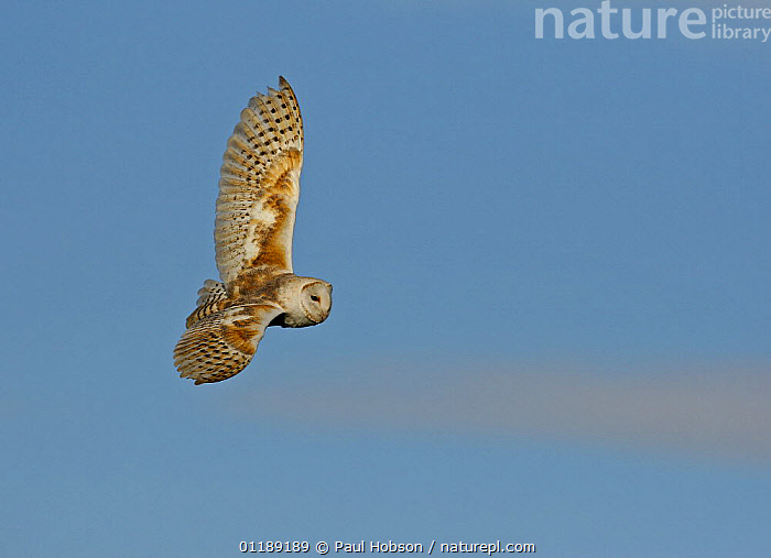 Barn Owl {Tyto alba} in flight, Norfolk, UK, captive  ,  BIRDS,EUROPE,FLYING,OWLS,UK,VERTEBRATES,United Kingdom,British,Raptor  ,  Paul Hobson