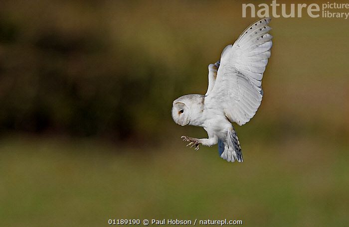 Barn Owl {Tyto alba} in flight with claws extended about to catch prey, Norfolk, UK, captive  ,  BEHAVIOUR,BIRDS,EUROPE,FLYING,OWLS,UK,VERTEBRATES,United Kingdom,British,Raptor  ,  Paul Hobson