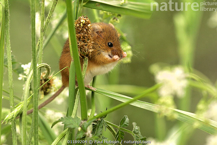 Harvest Mouse {Micromys minutus} in grass and hedgerow vegetation, Yorkshire, UK, captive  ,  CUTE,EUROPE,GROOMING,HEDGEROWS,MAMMALS,MICE,PLANTS,RODENTS,UK,VERTEBRATES,United Kingdom,British,Muridae  ,  Paul Hobson