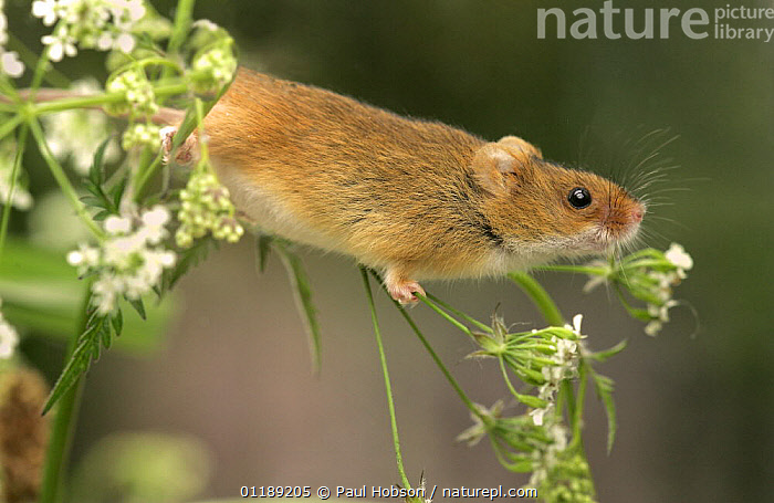 Harvest Mouse {Micromys minutus} in hedgerow vegetation, Yorkshire, UK, captive  ,  EUROPE,HEDGEROWS,MAMMALS,MICE,PLANTS,RODENTS,STRETCHING,UK,VERTEBRATES,United Kingdom,British,Muridae  ,  Paul Hobson