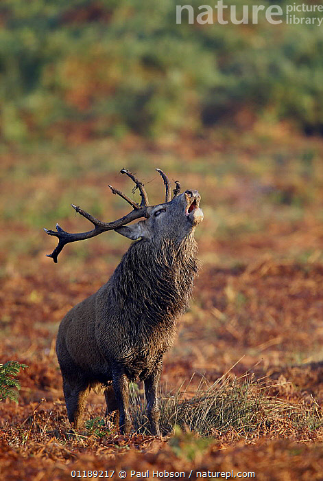 Red Deer {Cervus elaphus} male roaring in rutting season, autumn, Bradgate Park, Leicestershire, UK  ,  ARTIODACTYLA,AUTUMN,DEER,EUROPE,MALES,MAMMALS,MATING BEHAVIOUR,UK,VERTEBRATES,VERTICAL,VOCALISATION,United Kingdom,Reproduction,British  ,  Paul Hobson