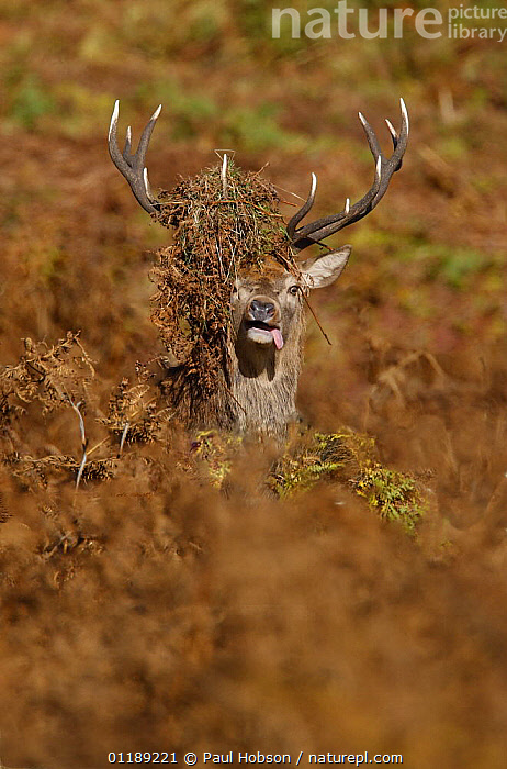 Red Deer {Cervus elaphus} male with bracken over antlers and tongue out in rutting season, autumn, Bradgate Park, Leicestershire, UK  ,  ARTIODACTYLA,AUTUMN,DEER,EUROPE,HIDING,HUMOROUS,MALES,MAMMALS,MATING BEHAVIOUR,UK,VERTEBRATES,VERTICAL,United Kingdom,Concepts,Reproduction,British  ,  Paul Hobson