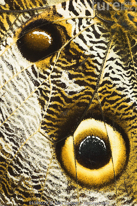 Close up of eye on wing of Owl-eye Butterfly (Calligo eurilochus). Forests of Napo River, Ecuador  ,  BUTTERFLIES,CLOSE UPS,EYES,INSECTS,INVERTEBRATES,LEPIDOPTERA,PATTERNS,SOUTH AMERICA,TROPICAL RAINFOREST,VERTICAL,Owls,Raptor  ,  Nick Garbutt