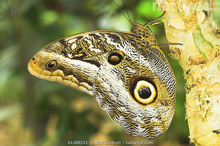Owl-eye Butterfly (Calligo eurilochus). Forests of Napo River, Ecuador  ,  BUTTERFLIES,EYES,INSECTS,INVERTEBRATES,LEPIDOPTERA,PATTERNS,SOUTH AMERICA,TROPICAL RAINFOREST,Owls,Raptor  ,  Nick Garbutt