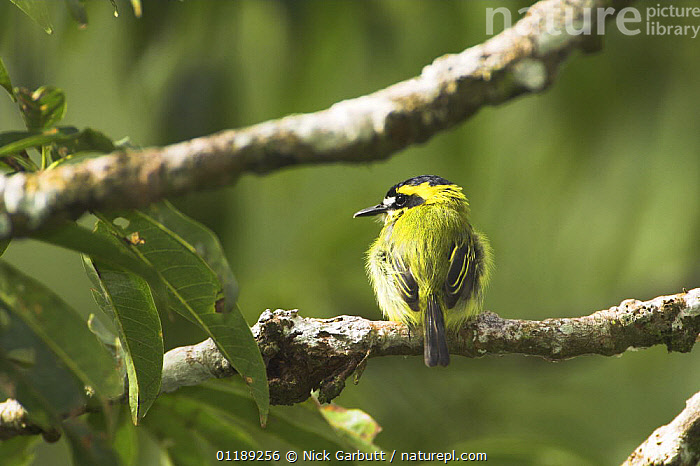 Yellow-browed Tody Flycatcher (Todirostrum chrysocrotaphum) in forest canopy along Napo River, Ecuador.  ,  BIRDS, FLYCATCHERS, south america, tropical rainforest, VERTEBRATES  ,  Nick Garbutt