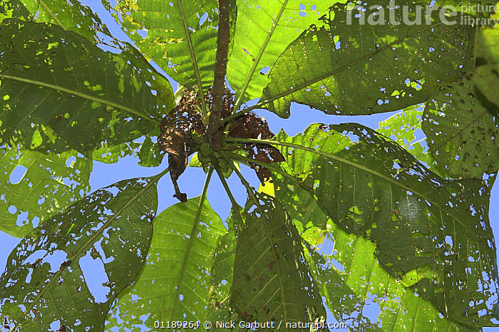 Looking up through leaves eaten by caterpillars, montane cloud forest, Mindo, Ecuador.  ,  LARVAE,PESTS,SOUTH AMERICA,TROPICAL RAINFOREST  ,  Nick Garbutt